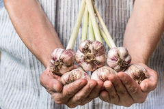 Farmer holding fresh garlic. Vegetables harvest. Organic fresh harvested vegetables Stock Image