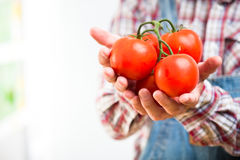 Farmer holding fresh harvested tomatoes Stock Photography