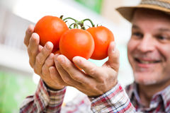 Farmer holding fresh harvested tomatoes Royalty Free Stock Images