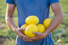 Farmer holding fresh melon crop on the field at organic eco farm. Crop image of farmer holding in hands fresh yellow melon harvest on the field at organic eco Royalty Free Stock Photo