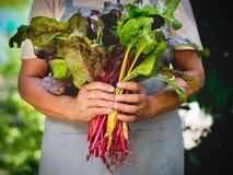 Fresh organic swiss chard vegetable. Farmer holding fresh organic swiss chard vegetable in hands Stock Photography