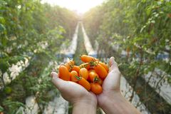 Farmer holding  fresh tomato Royalty Free Stock Images