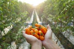 Free Farmer Holding Fresh Tomato Royalty Free Stock Images - 22516069