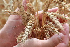 Farmer holding grain Stock Photo