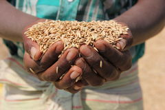 Farmer holding grain. Farmer holding crops. Great working hands Stock Photography
