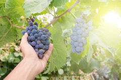 Farmer Holding Grapes Royalty Free Stock Images