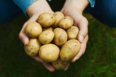 Farmer holding in hands the harvest of potatoes against green grass. Organic vegetables. Farming. Farmer holding in hands the harvest of potatoes against grass royalty free stock image