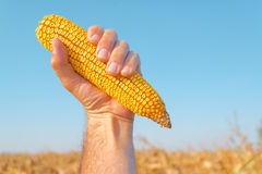 Farmer holding harvested corn cob. Farmer holding harvested mature maize cob in corn field, hand raised in air for success in agricultural production Stock Image