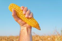 Farmer holding harvested corn cob Stock Image