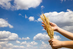 Farmer holding his successful yield of wheat Stock Image