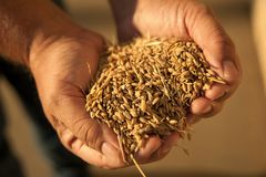Farmers hands holding rice royalty free stock image