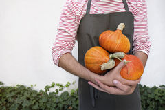 Farmer holding orange pumpkins. A man holding fresh organic pumpkins with cute stems. He stands against the backdrop of ivy hedge. The man is visible only from Royalty Free Stock Image