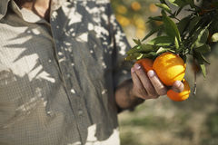 Farmer Holding Oranges In Farm Royalty Free Stock Photography