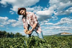 Farmer holding potatoes in field. Handsome bearded farmer in hat holding harvest of organic potatoes Stock Photos