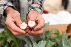 Farmer holding radish. Local farmer holding watermelon radish split in two Royalty Free Stock Photography
