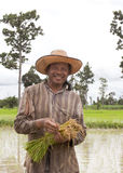 Farmer holding rice in paddy fields. Stock Photography