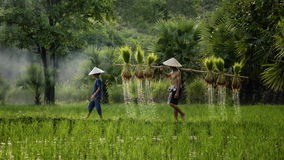Farmer holding the rice seedling for plantation with his daughter Royalty Free Stock Photo