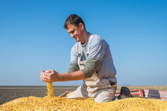 Farmer holding ripe corns Royalty Free Stock Photo