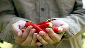 Farmer holding ripe vegetables in organic garden. Organic eating. Chili peppers in hands