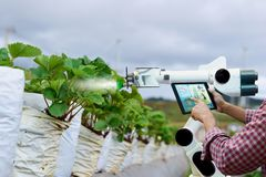 Farmer holding a tablet smart arm robot work strawberry care agricultural machinery royalty free stock image