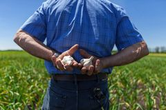 Just hiding some garlic behind my back. Farmer holding two bulbs of garlic in his back, one in each of his hands, in a field of garlic stock photography