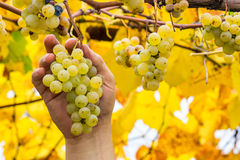 Farmer holding white grapes. Grapes harvest. Farmer is holding a ripe white grapes in vineyard Stock Photo