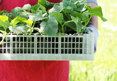 Farmer holds a box of fresh green seedlings cucumber plants Royalty Free Stock Image