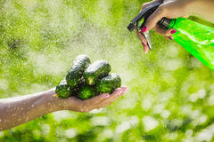 Farmer holds fresh organic cucumbers in her hands.Holding green cucumbers in hands and washing with a sprayer. Female farmer holds fresh organic cucumbers in her Stock Image