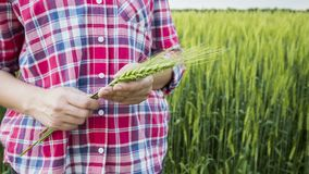 A farmer holds a spikelet of wheat. Without recognizable faces