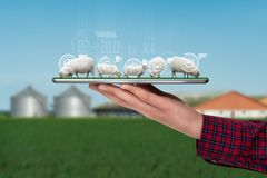 A farmer holds a tablet with sheeps. A farmer holds a tablet with a flock of sheep. Smart farming and digital transformation in agriculture royalty free stock photography