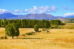 The farmer horse is in the field grazed Stock Image