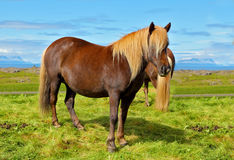 Farmer  horse with  of the fjord Royalty Free Stock Image