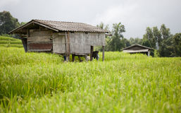 Farmer house in the green terraced rice field. Old farmer house in the green terraced rice field on the mountain Royalty Free Stock Photo