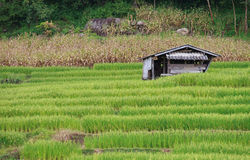 Farmer house in the green terraced rice field. Old farmer house in the green terraced rice field on the mountain Stock Photography