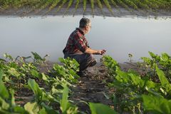 Agricultural scene, farmer in sunflower  field after flood royalty free stock images