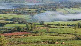 Farmer inspecting cattle in misty valley in the Brecon Beacons National Park stock video footage