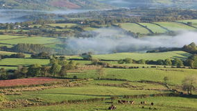Farmer inspecting cattle in misty valley in the Brecon Beacons National Park stock footage