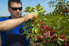 Farmer inspecting cherry yield. In the orchard royalty free stock image