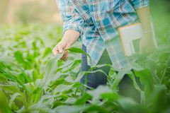 Farmer inspecting corn in agriculture garden. Close up farmer inspecting corn in agriculture garden Stock Image