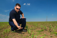 Farmer Inspecting Corn attacked by weed Royalty Free Stock Photography