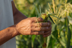 Farmer inspecting corn crop at field of organic eco farm. Close-up male hands check yield of corn Royalty Free Stock Image