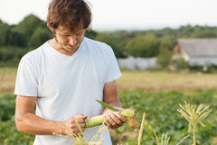 Farmer inspecting corn crop at field of organic eco farm. Rancher holding corn in the hands Stock Photo