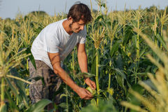 Farmer inspecting corn crop at field of organic eco farm. Young gadener harvesting corn Stock Photos