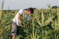 Farmer inspecting corn crop at field of organic eco farm. Young gadener harvesting corn Royalty Free Stock Images