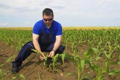 Farmer Inspecting Corn field Royalty Free Stock Photos