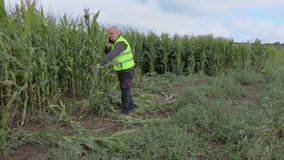 Farmer inspecting corn field stock footage