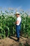 Farmer inspecting corn plant Stock Image