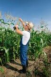 Farmer inspecting corn plant Stock Images