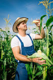 Farmer inspecting corn plant Royalty Free Stock Photo
