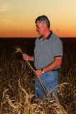 Farmer Inspecting Durum Wheat Royalty Free Stock Image